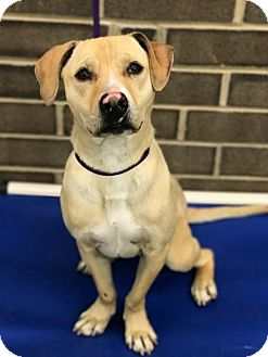 Labrador Retriever/Jack Russell Terrier Mix Dog for adoption in Thomasville, North Carolina - Chaos