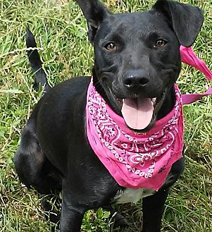 Labrador Retriever/Whippet Mix Puppy for adoption in New Hartford, Connecticut - Annie -adorable baby girl!