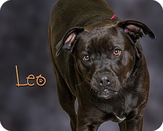 Pit Bull Terrier Mix Dog for adoption in Somerset, Pennsylvania - Leo