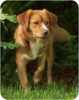 Nova Scotia Duck-Tolling Retriever Dog for adoption in Houston, Texas - Rusty