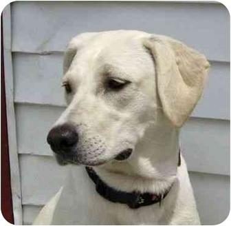 Labrador Retriever Mix Dog for adoption in Ile-Perrot, Quebec - Ginger