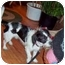 Photo 1 - Shih Tzu/Dachshund Mix Dog for adoption in Kokomo, Indiana - Gizmo