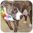 Photo 3 - Pit Bull Terrier/American Staffordshire Terrier Mix Dog for adoption in Battleground, Indiana - Scarlet