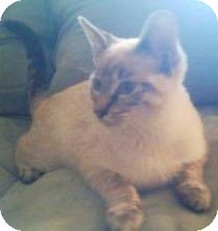 Domestic Shorthair Kitten for adoption in Miami, Florida - Somi