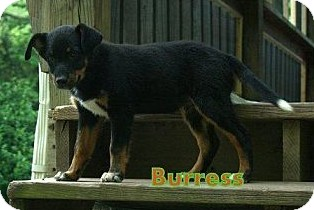 Bernese Mountain Dog Mix Puppy for adoption in Danbury, Connecticut - Burress PENDING ADOPTION