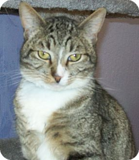 Domestic Shorthair Cat for adoption in Grants Pass, Oregon - Merlin