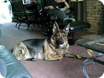German Shepherd Dog/Blue Heeler Mix Dog for adoption in London, Ontario - Lily