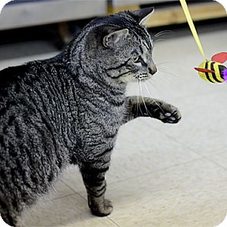 Domestic Shorthair Cat for adoption in Stillwater, Oklahoma - Ricki
