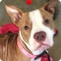 Adopt A Pet :: Honey CP - Dayton, OH