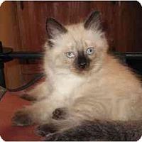 Adopt A Pet :: Latte - Beverly Hills, CA