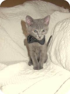 Domestic Shorthair Kitten for adoption in Knoxville, Tennessee - Lucky Day