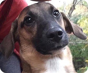 Shepherd (Unknown Type)/Hound (Unknown Type) Mix Puppy for adoption in Worcester, Massachusetts - Koda - Calm Puppy