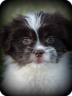Shih Tzu/Yorkie, Yorkshire Terrier Mix Puppy for adoption in Anderson, South Carolina - Carly