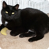 Adopt A Pet :: Inkie - Plainville, MA