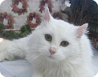 Domestic Longhair Cat for adoption in Lloydminster, Alberta - Snowball