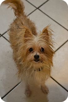 Yorkie, Yorkshire Terrier/Chihuahua Mix Dog for adoption in Broadway, New Jersey - Mattie