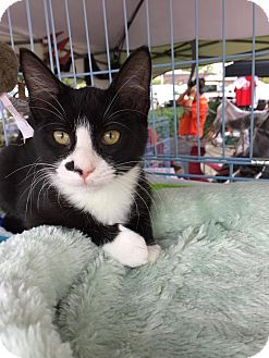 Domestic Mediumhair Cat for adoption in Mansfield, Texas - Marshall
