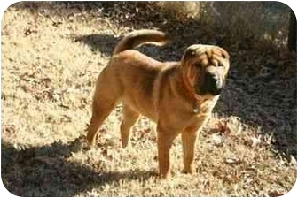 Shar Pei Mix Puppy for adoption in Muldrow, Oklahoma - LEO