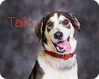 Husky/Golden Retriever Mix Dog for adoption in Somerset, Pennsylvania - Talia