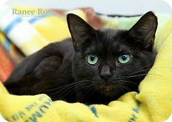 Domestic Shorthair Cat for adoption in Sterling Heights, Michigan - Frankie