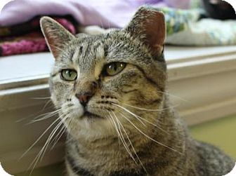 Domestic Shorthair Cat for adoption in Indianapolis, Indiana - Francine
