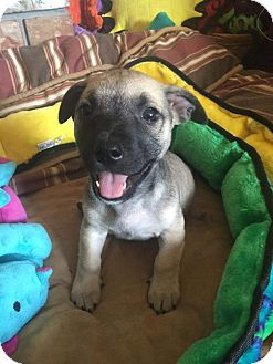 Shepherd (Unknown Type) Mix Puppy for adoption in Concord, California - Dempsey