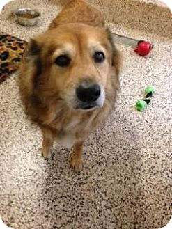 Golden Retriever Mix Dog for adoption in Aiken, South Carolina - Callista