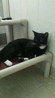 Domestic Shorthair Kitten for adoption in Elk Grove, California - Bear (Heidi's kid)