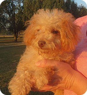 Poodle (Miniature) Puppy for adoption in Salem, New Hampshire - Myra