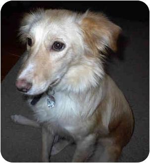 Golden Retriever Mix Dog for adoption in Overland Park, Kansas - Honey
