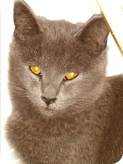 Russian Blue Kitten for adoption in Glendale, Arizona - Cassie