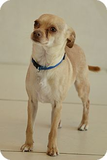 Chihuahua/Italian Greyhound Mix Dog for adoption in Culver City, California - Eugene