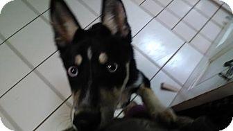 Husky Mix Dog for adoption in Big Spring, Texas - Jake
