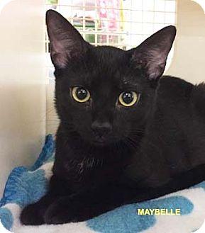 Domestic Shorthair Kitten for adoption in Merrifield, Virginia - Maybelle