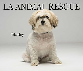 Shih Tzu/Poodle (Miniature) Mix Dog for adoption in Los Angeles, California - Shirley