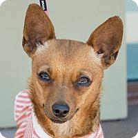 Adopt A Pet :: Adele - San Marcos, CA