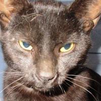 Adopt A Pet :: Cat Stevens - Memphis, TN