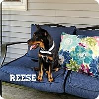 Adopt A Pet :: Reese - Southington, CT