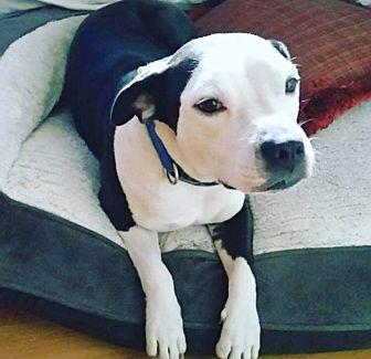 American Bulldog/Labrador Retriever Mix Dog for adoption in Jacksonville, Florida - Danni aka Diamond