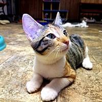 Adopt A Pet :: Kitten 15880 - Parlier, CA