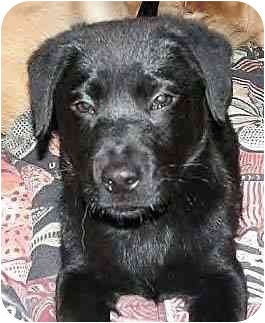 Labrador Retriever Mix Puppy for adoption in Evergreen, Colorado - Dewey