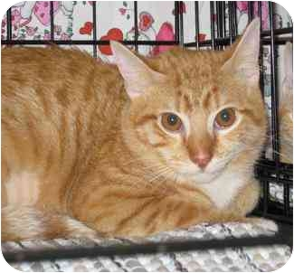 Domestic Shorthair Cat for adoption in Houston, Texas - WC Fields