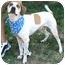 Photo 1 - Beagle/Hound (Unknown Type) Mix Dog for adoption in Waukesha, Wisconsin - Mack