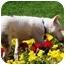 Photo 3 - Australian Shepherd/Bull Terrier Mix Dog for adoption in Mesa, Arizona - Spud