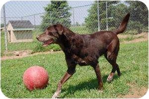 Labrador Retriever Mix Dog for adoption in Barron, Wisconsin - Kahlua