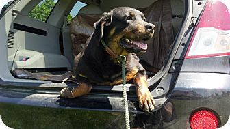 Rottweiler Dog for adoption in Rexford, New York - Chula