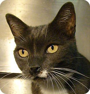Domestic Mediumhair Cat for adoption in El Cajon, California - Dusty