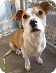 American Bulldog/Corgi Mix Dog for adoption in Lockhart, Texas - Dolly