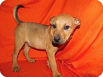 Labrador Retriever/German Shepherd Dog Mix Puppy for adoption in Bel Air, Maryland - Capone (Reduced Adoption Fee!)