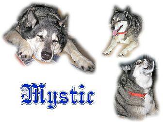 Siberian Husky Dog for adoption in Seminole, Florida - Mystic